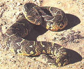 Puff Adder - How to deal with snake bites - Dust Monitoring Equipment